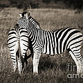 Zebras by Delphimages Photo Creations