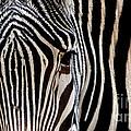 Zebras Face To Face by Nadalyn Larsen
