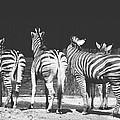 Zebras From Behind by Pati Photography