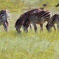 Zebras In Africa by Dan Sproul