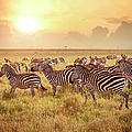 Zebras In The Morning by Narvikk