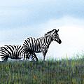 Zebras by Michele Avanti