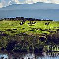 Zebras On Green Grassy Hill. Ngorongoro. Tanzania by Michal Bednarek