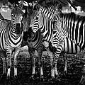 Zebras by Sandra Stimac