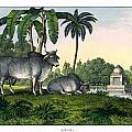 Zebu by Splendid Art Prints