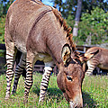 Zedonk Or Zebroid by Susan Leggett