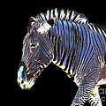 Zephyrus Zebra II by Sheila Laurens