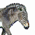 Zephyrus Zebra IIi by Sheila Laurens