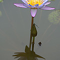 Zilker Botanical Park - Water Lily by Roy Williams