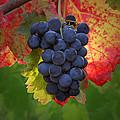 Zinfandel Grapes by Susan Rovira