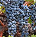 Zinfandel Wine Grapes by Charlette Miller