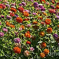 Zinna Variety by Bob Phillips