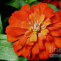 Zinnia by Andee Design
