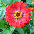 Zinnia by Coleen Harty