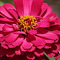 Zinnia by Ester  Rogers