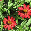 Zinnia Gardens-1 by Doug Morgan