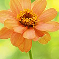Zinnia On A Brilliant Spring Day by Dorothy Lee