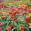 Zinnia Ruffles. by Anthony Cooper/science Photo Library