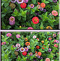 Zinnias 4 Panel Vertical Composite by Thomas Woolworth