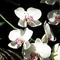 Zoo Orchid by Lindsay Kurek