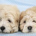 Zuchon Teddy Bear Dogs, Lying by John Daniels