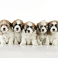 Zuchon Teddy Bear Puppy Dogs by John Daniels