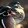 A Couple Of Wood Ducks by Karol Livote