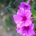 Arizona Wildflower by Sharon Mick