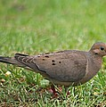 Backyard Mourning Dove  by Jeanne Kay Juhos