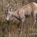Bighorn Ewe by Ronald Lutz