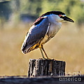 Black-crowned Night Heron by Robert Bales