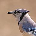 Blue Jay Posing by David Cutts