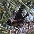 Boat-tailed Grackle - Quiscalus Major by Travis Truelove