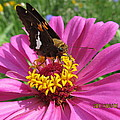 Butterfly On Pink Flower by Tina M Wenger