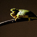 Chameleon On Branch by Trevor C Steenekamp