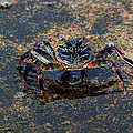 Crab And Reflection by Trevor C Steenekamp