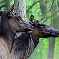 Elk In The Forest  by Steve McKinzie