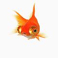 Goldfish With Big Eyes by Don Farrall