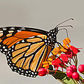 Monarch Butterfly  by Mircea Costina Photography