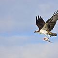 Osprey Lunch To Go II by Christine Stonebridge