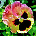 Pink And Yellow Pansy by Helen Haw