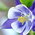 Purple Columbine Bloom by Lila Fisher-Wenzel