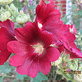 Red Hollyhock by Tina M Wenger