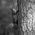 Red Squirrel In Bw by Jouko Lehto