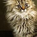 Startled Persian Kitten by Larry Allan