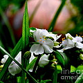 Tradescantia   by Tanya  Searcy