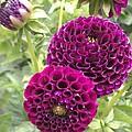 Wow Pink Dahlia Orbs by Pamela Roberts-Aue