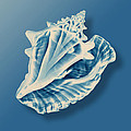 X-ray Of A Conch Shell by Mark Greenberg