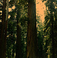 Yosemite Forest by Lydia Holly