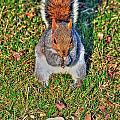06 Grey Squirrel Sciurus Carolinensis Series by Michael Frank Jr